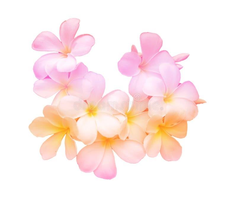 Schoonheid kleurrijk van de bloemen van Frangipani of Plumeria- royalty-vrije stock foto's