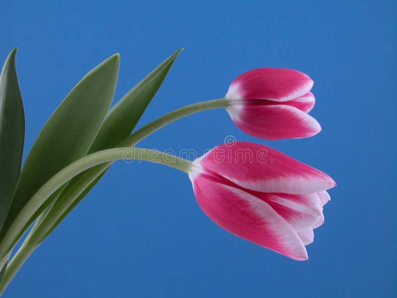 Schoonheid in roze royalty-vrije stock fotografie
