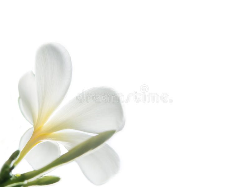 Schoonheid van de Witte bloemen van Frangipani of Plumeria- royalty-vrije stock fotografie