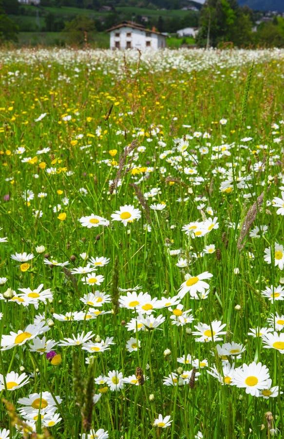 Schoonheid van madeliefjebloemen op de het de lenteweide en landbouwbedrijf op achtergrond stock afbeeldingen
