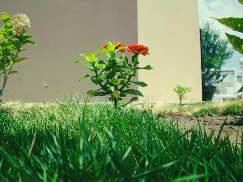 Schoonheid van oranje bloem met groen bladeren en gras stock afbeelding