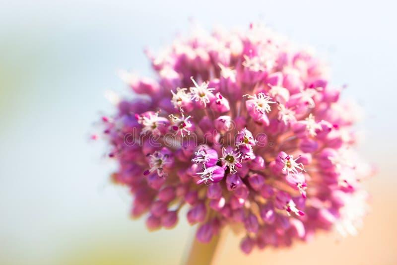 Schoonheid in verse roze bloem als de lente en de zomerbloesem macroc royalty-vrije stock fotografie