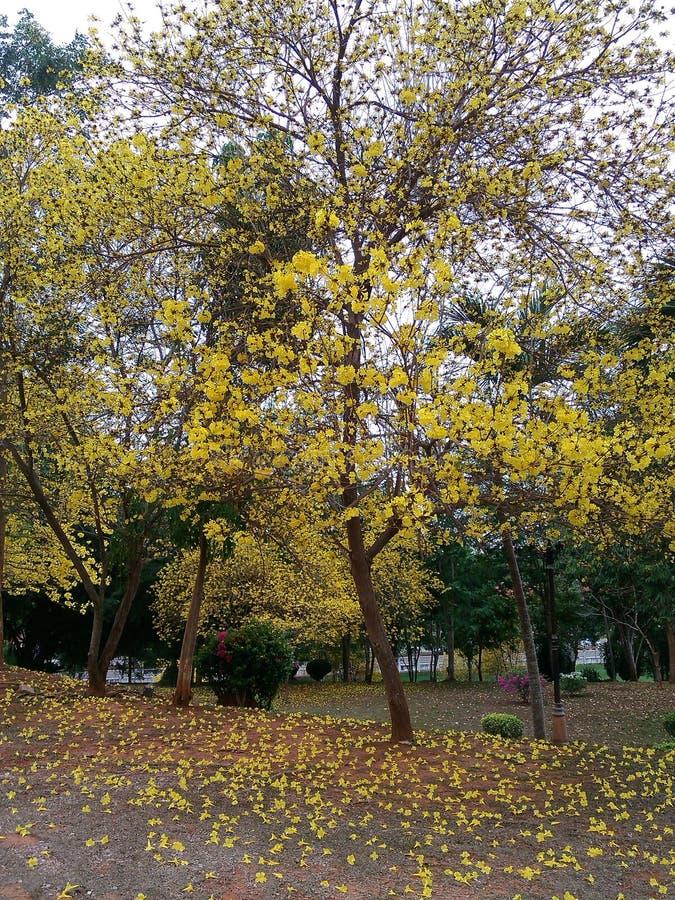 Schoonheids gele bloemen Thailand stock afbeeldingen