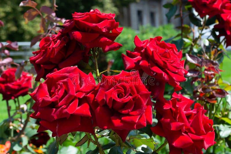 Schoonheids rode rozen op het gazon in het stadspark stock foto's