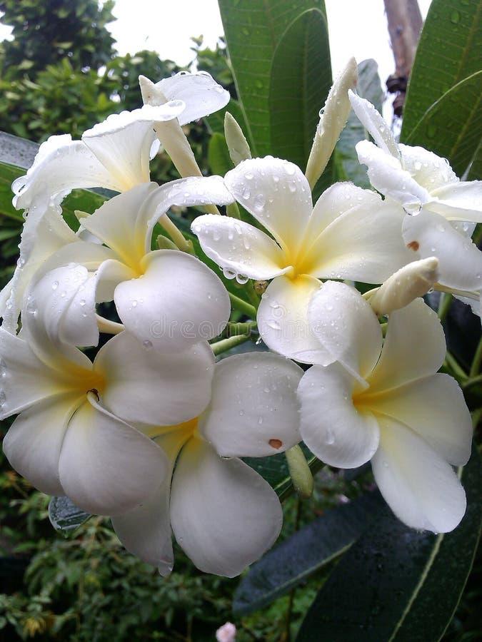 Schoonheids witte bloemen Thailand stock afbeeldingen