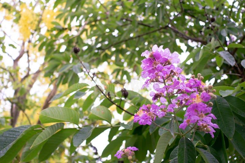 Schoonheidsfloribunda Jack voor tropisch in de zomer van Thailand royalty-vrije stock fotografie