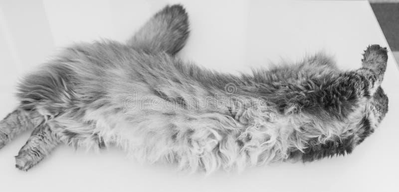 Schoonheidskat van vee, Siberisch rasdier Aanbiddelijk binnenlands huisdier in het krassen van tijd stock fotografie