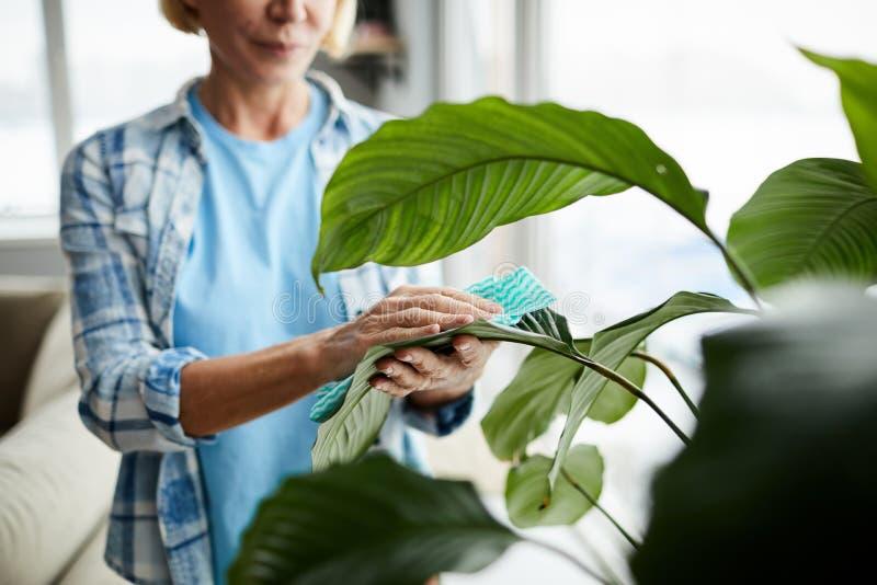 Schoonmakende bladeren van houseplant stock afbeeldingen