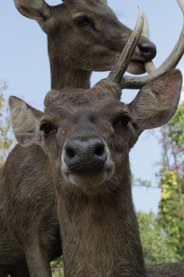 Schoonmakende hoorn van een ander hert royalty-vrije stock afbeeldingen