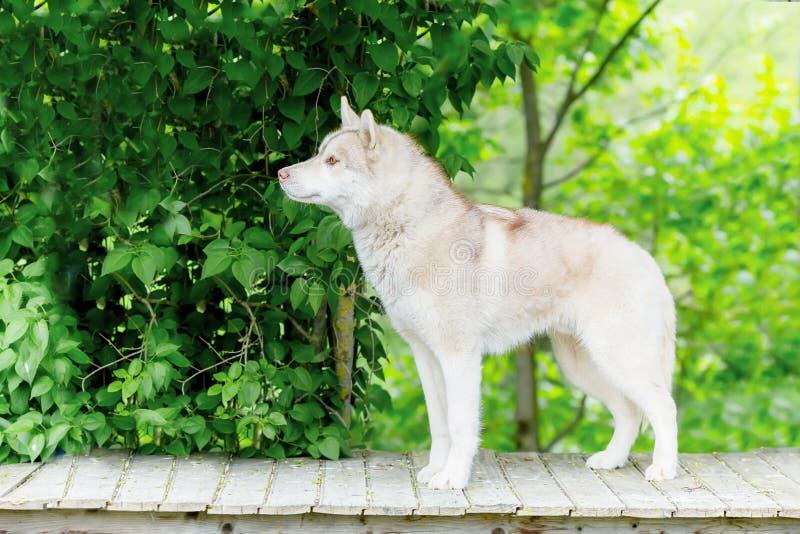 Schor grijs De volwassen hond bevindt zich op een houten platform leeftijd 2 stem vóór royalty-vrije stock foto's