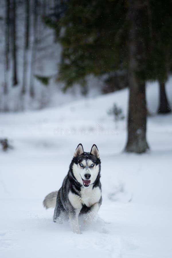 Schor hond in de sneeuw die pret hebben stock fotografie