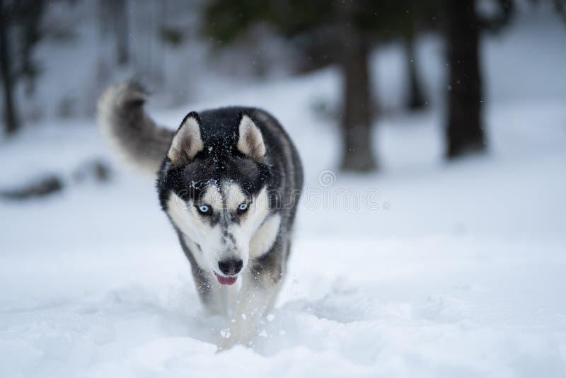 Schor hond in de sneeuw die pret hebben royalty-vrije stock afbeelding