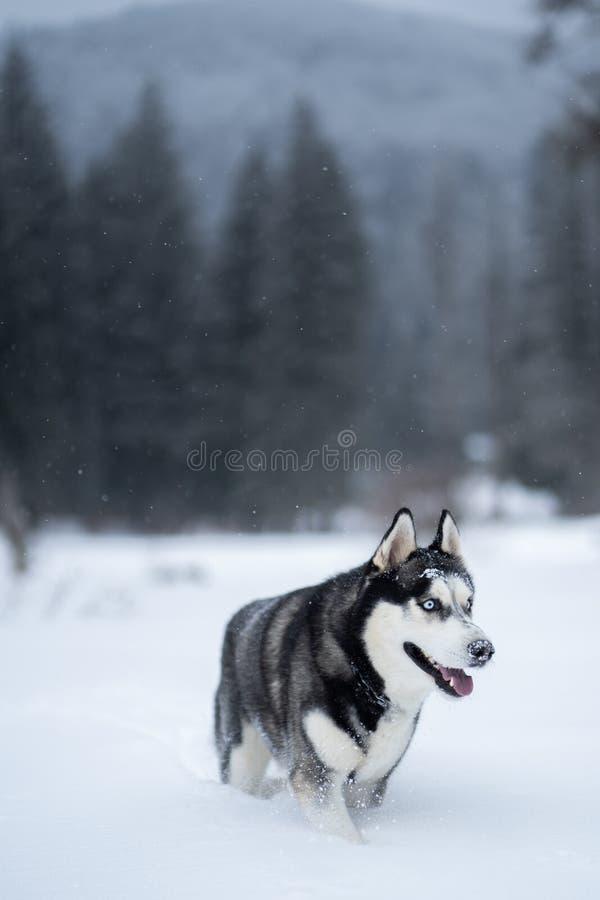 Schor hond in de sneeuw die pret hebben stock afbeeldingen