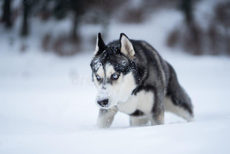 Schor hond in de sneeuw die pret hebben royalty-vrije stock fotografie