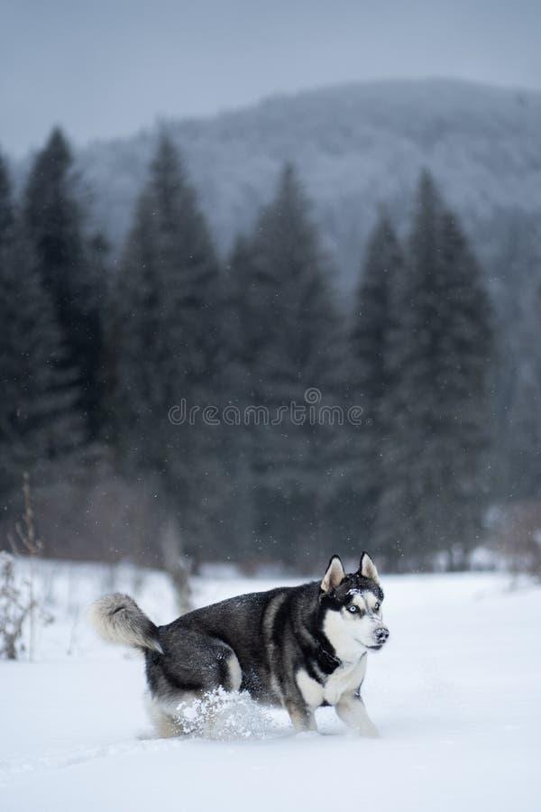 Schor hond in de sneeuw die pret hebben royalty-vrije stock foto's