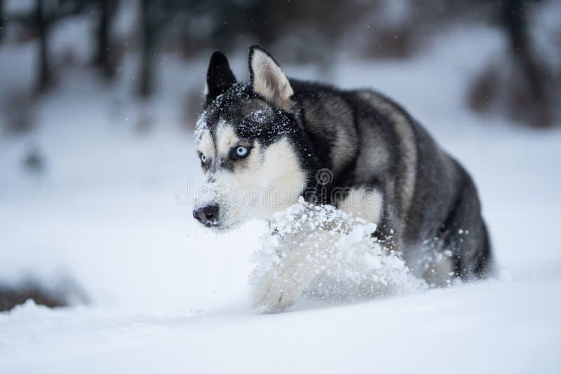 Schor hond in de sneeuw die pret hebben royalty-vrije stock afbeeldingen