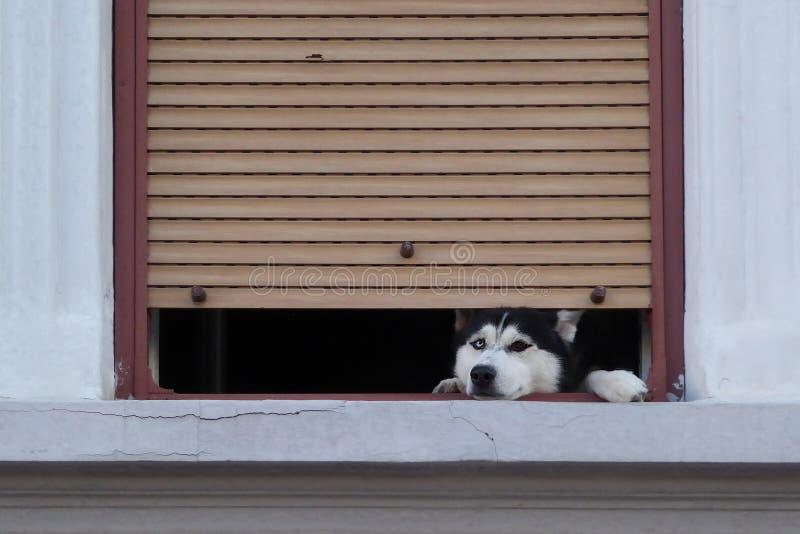 Schor hond die door het geopende huisvenster kijken royalty-vrije stock foto