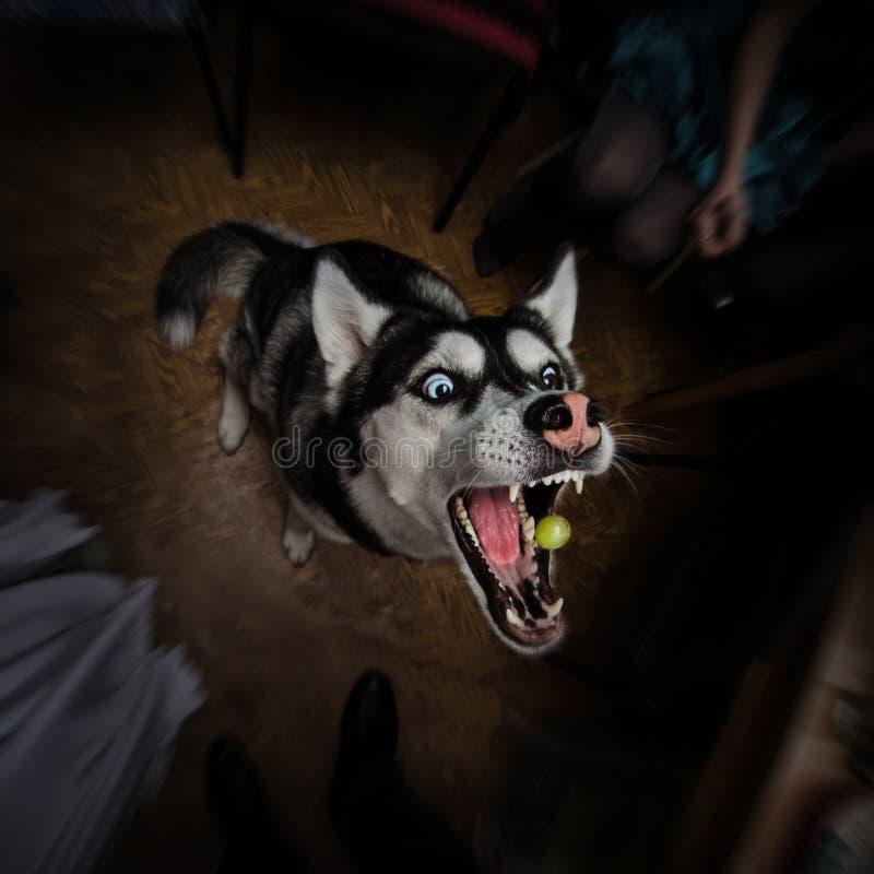 Schor hond die een druif met zijn kaken brede open op een donkere backround proberen te vangen royalty-vrije stock afbeeldingen