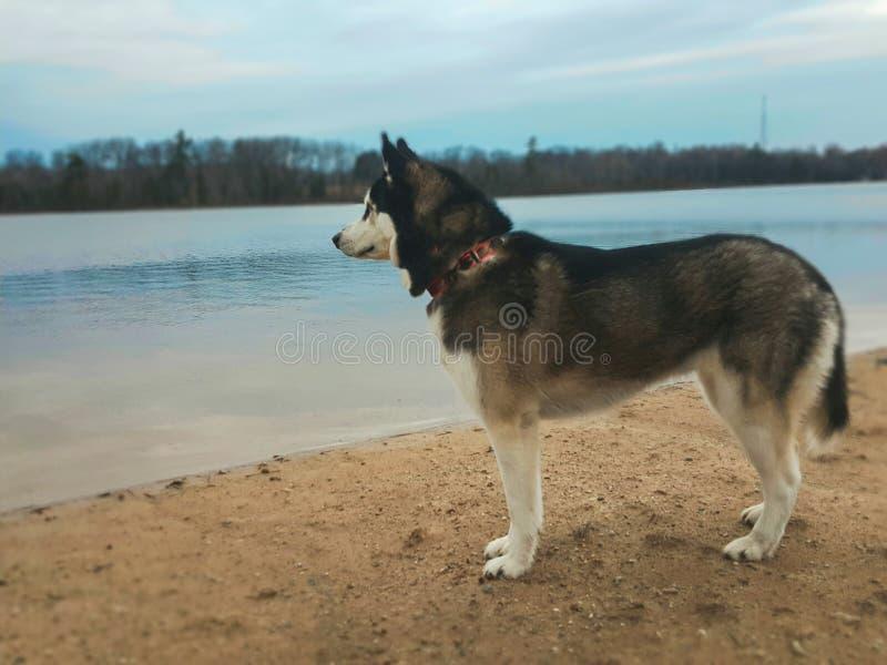 Schor hond door het water stock fotografie