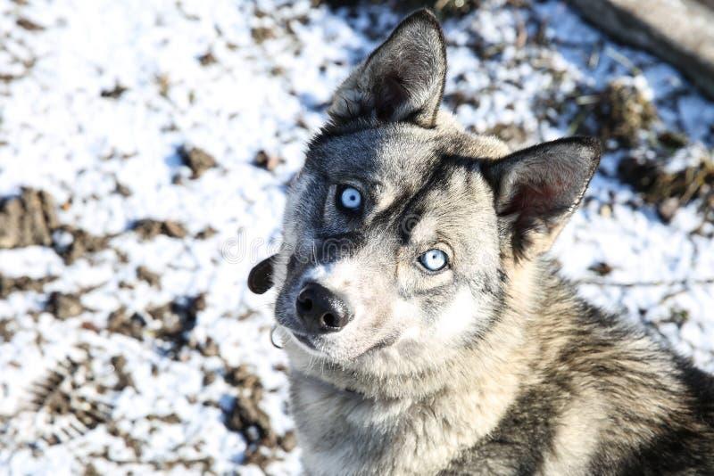 Schor hond met mooie blauwe ogen stock foto's