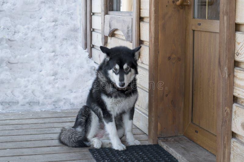 Schor hond op de portiek van het huis stock afbeelding