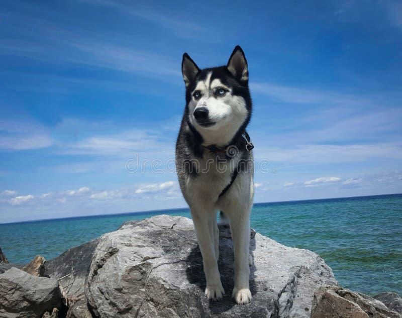 Schor hond op een rots door water stock fotografie