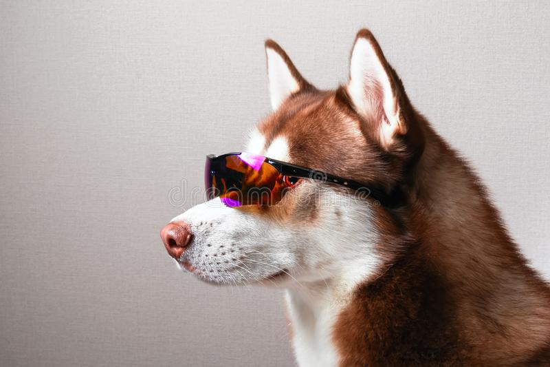 Schor hond in skibeschermende brillen stock foto