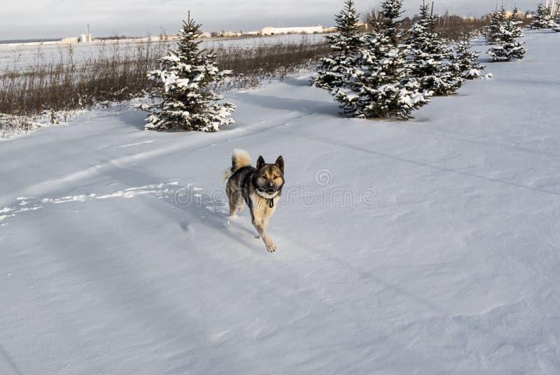 Schor hondlooppas door sneeuw na blizzard Siberische schor in sneeuwafwijking stock foto's
