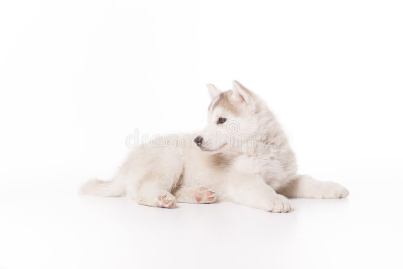 Schor hondpuppy die witte achtergrond leggen royalty-vrije stock afbeeldingen