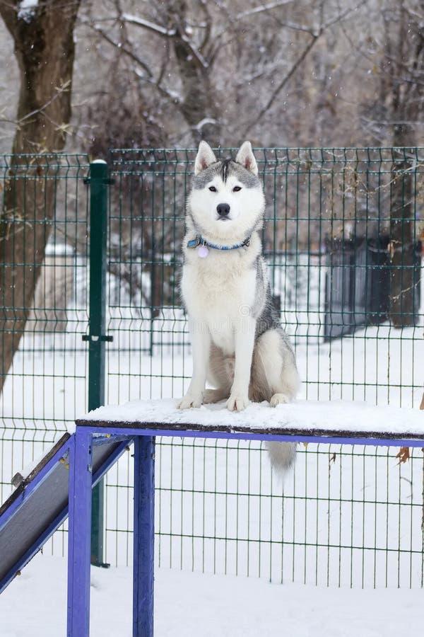 Schor hondzitting in hondspeelplaats royalty-vrije stock afbeelding