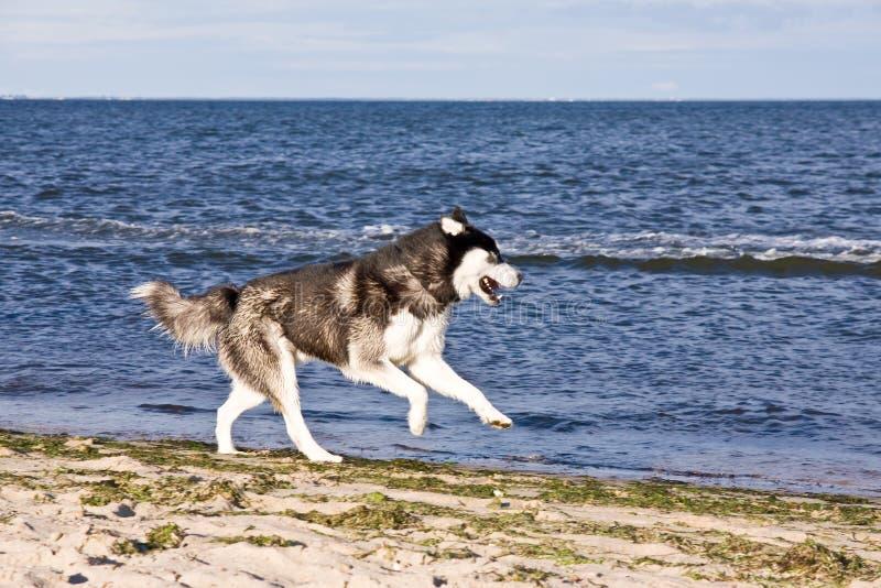 Schor op het strand stock foto