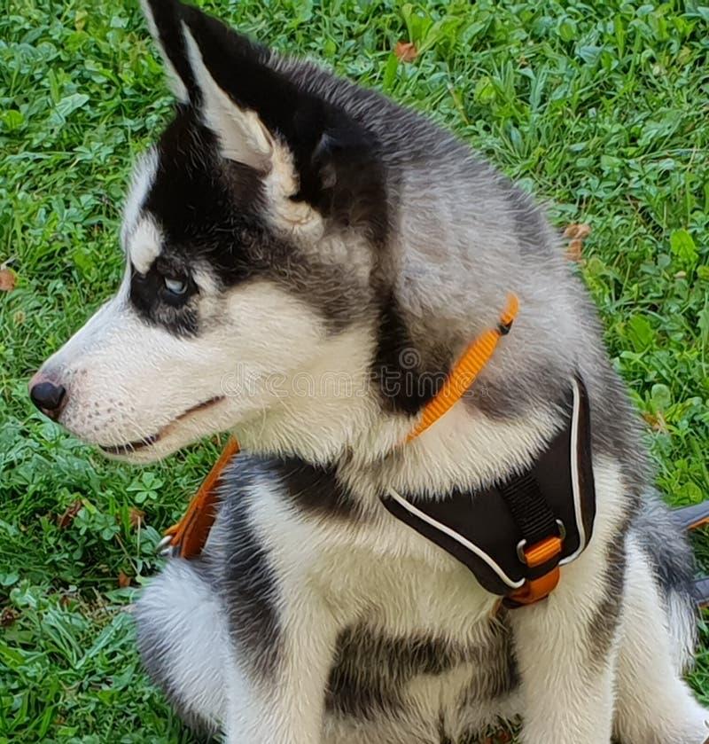 Schor Puppy stock foto
