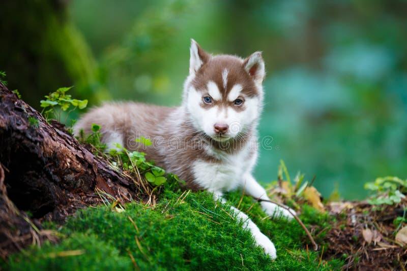 Schor puppy in een wild bos stock foto's