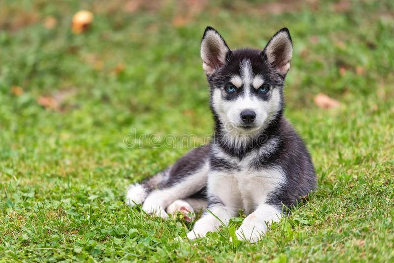 Schor puppy op het gras royalty-vrije stock afbeeldingen