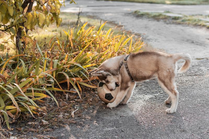 Schor puppy speelvoetbal royalty-vrije stock foto's