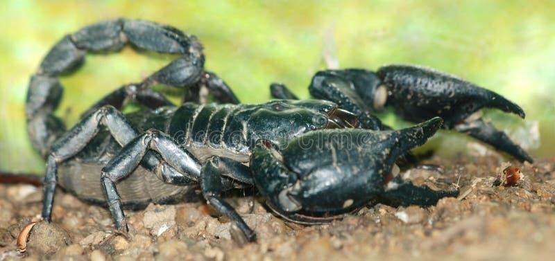 Schorpioen stock afbeeldingen