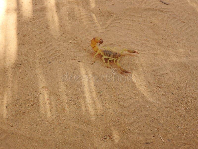 Schorpioen op het zand in zijn natuurlijke habitat, de duidelijke dag van Afrika royalty-vrije stock afbeelding