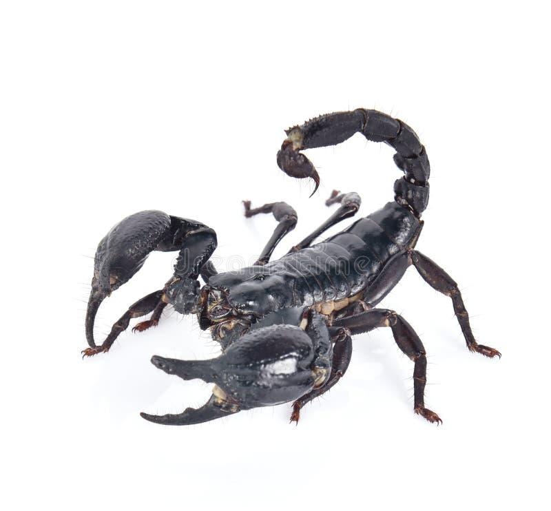 Schorpioen op witte achtergrond stock foto's