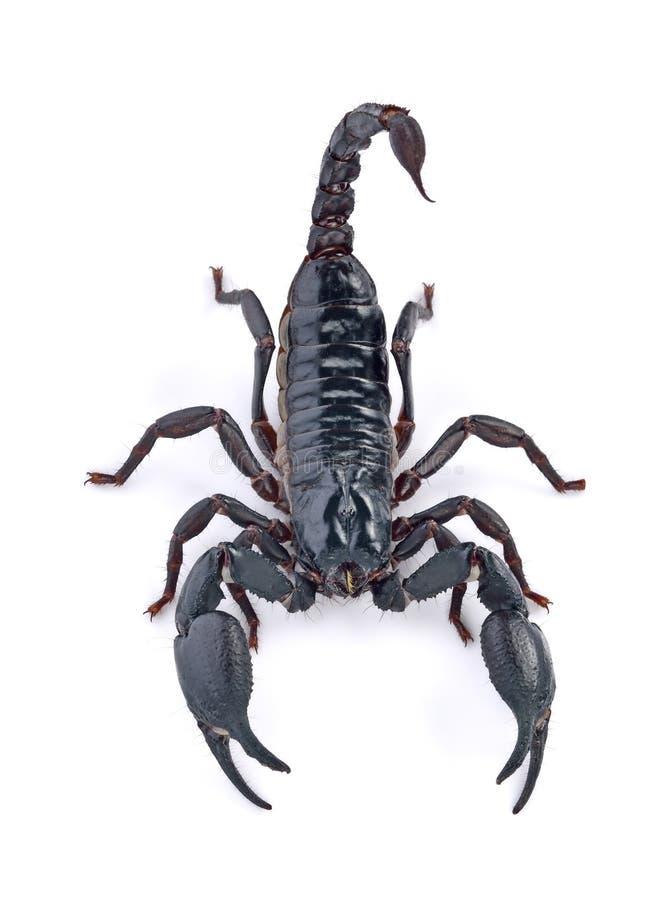 Schorpioen op witte achtergrond stock foto