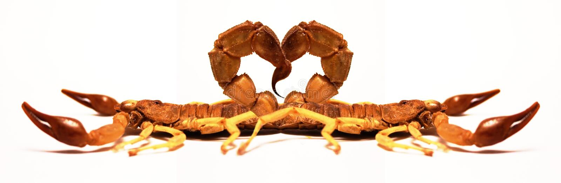 Schorpioenen in Liefde stock fotografie