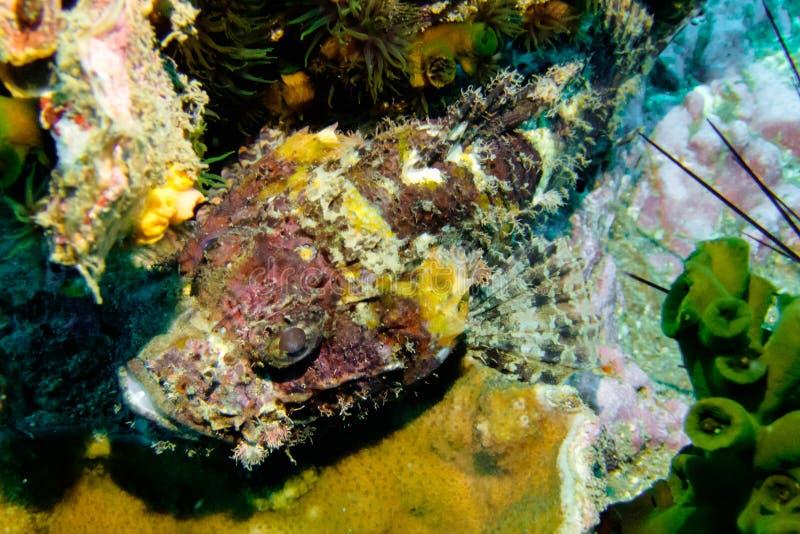 Schorpioenvissen, Driehoeksrots, Chumphon, Thailand royalty-vrije stock afbeeldingen
