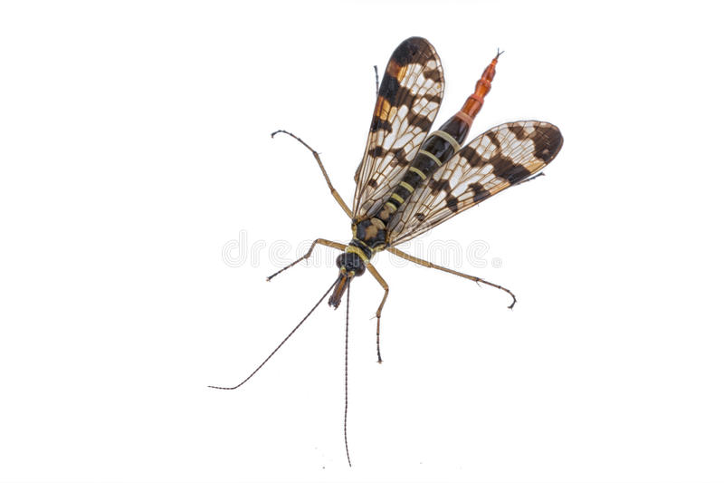 Schorpioenvlieg op witte achtergrond royalty-vrije stock foto