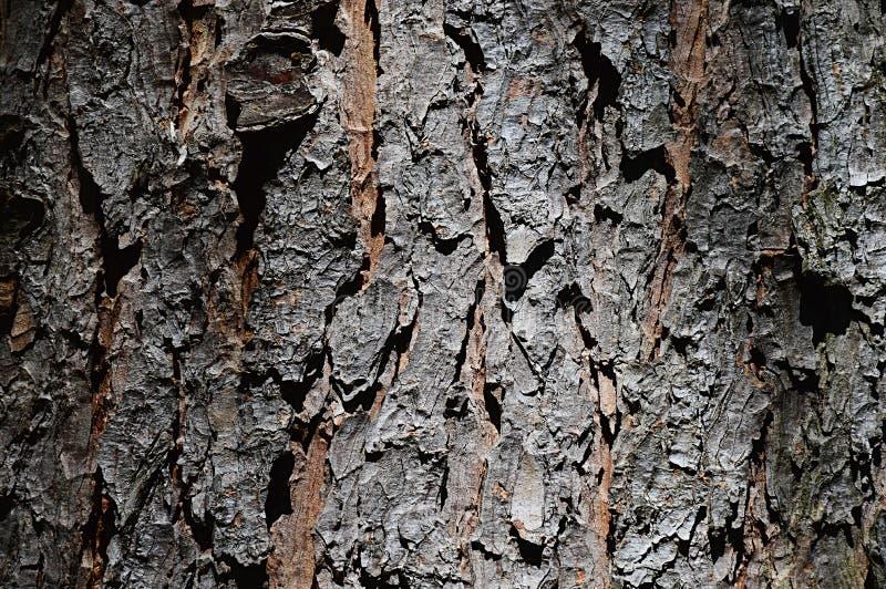 Schors houten textuur van naaldboombhutan Pijnboompinus Wallichiana Nana royalty-vrije stock afbeelding