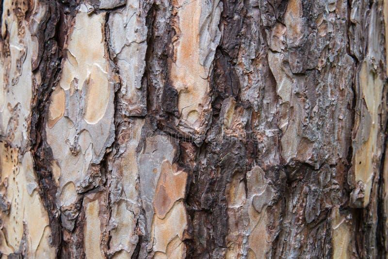 Schors van de textuur van de Pijnboomboom stock fotografie