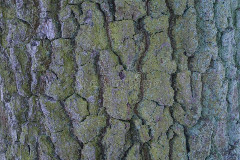 Schors van grote boom dichte omhooggaand stock afbeeldingen