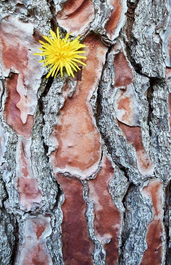 Schorspatroon met gele paardebloem stock foto's