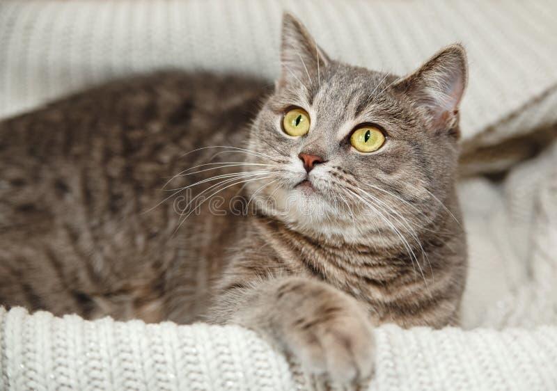 Schots Grey Cute Cat zit in de Gebreide Witte Sweater royalty-vrije stock afbeelding