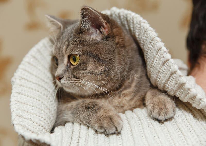 Schots Grey Cute Cat zit in de Gebreide Witte Sweater op de Schouder van de Mensen Dierlijke Fauna, Interessant Huisdier royalty-vrije stock foto