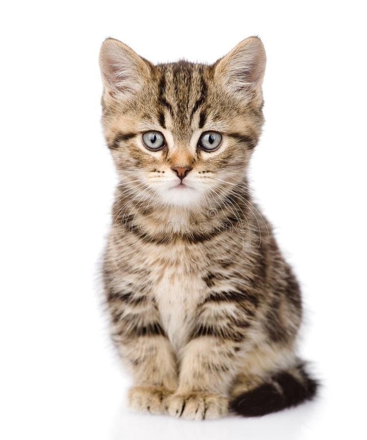 Schots katje die camera bekijken Geïsoleerdj op witte achtergrond stock foto's