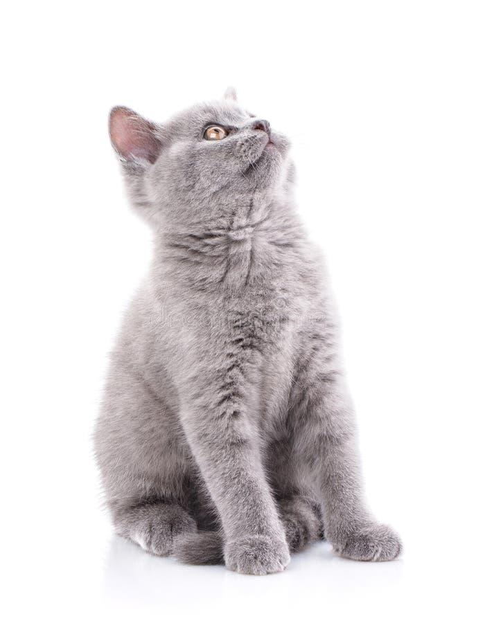 Schots recht katje Geïsoleerd op een witte achtergrond Een grijze pluizige pot stock afbeelding